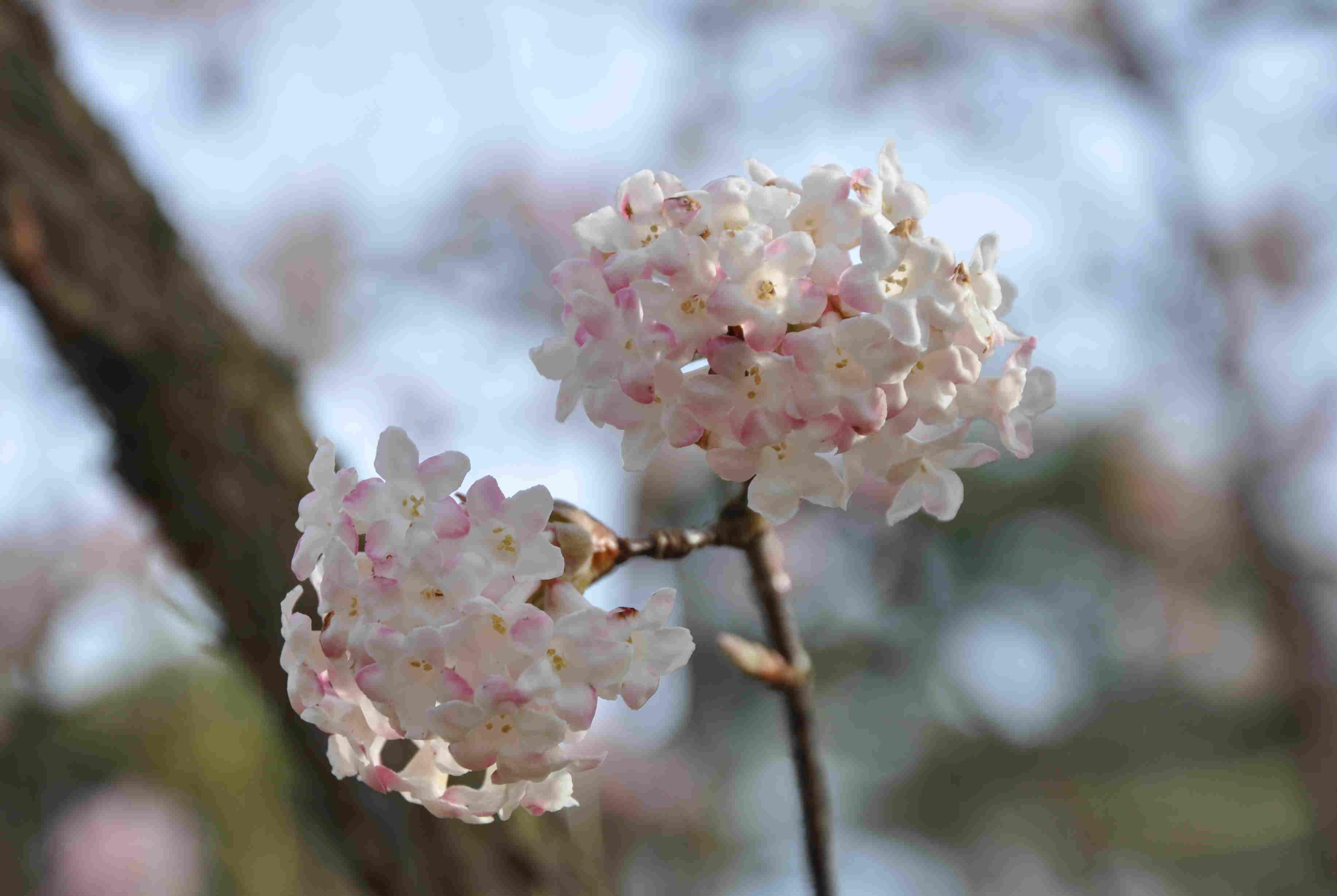Hybridkejsarolvon är en väldoftande buske med tidig blomning.