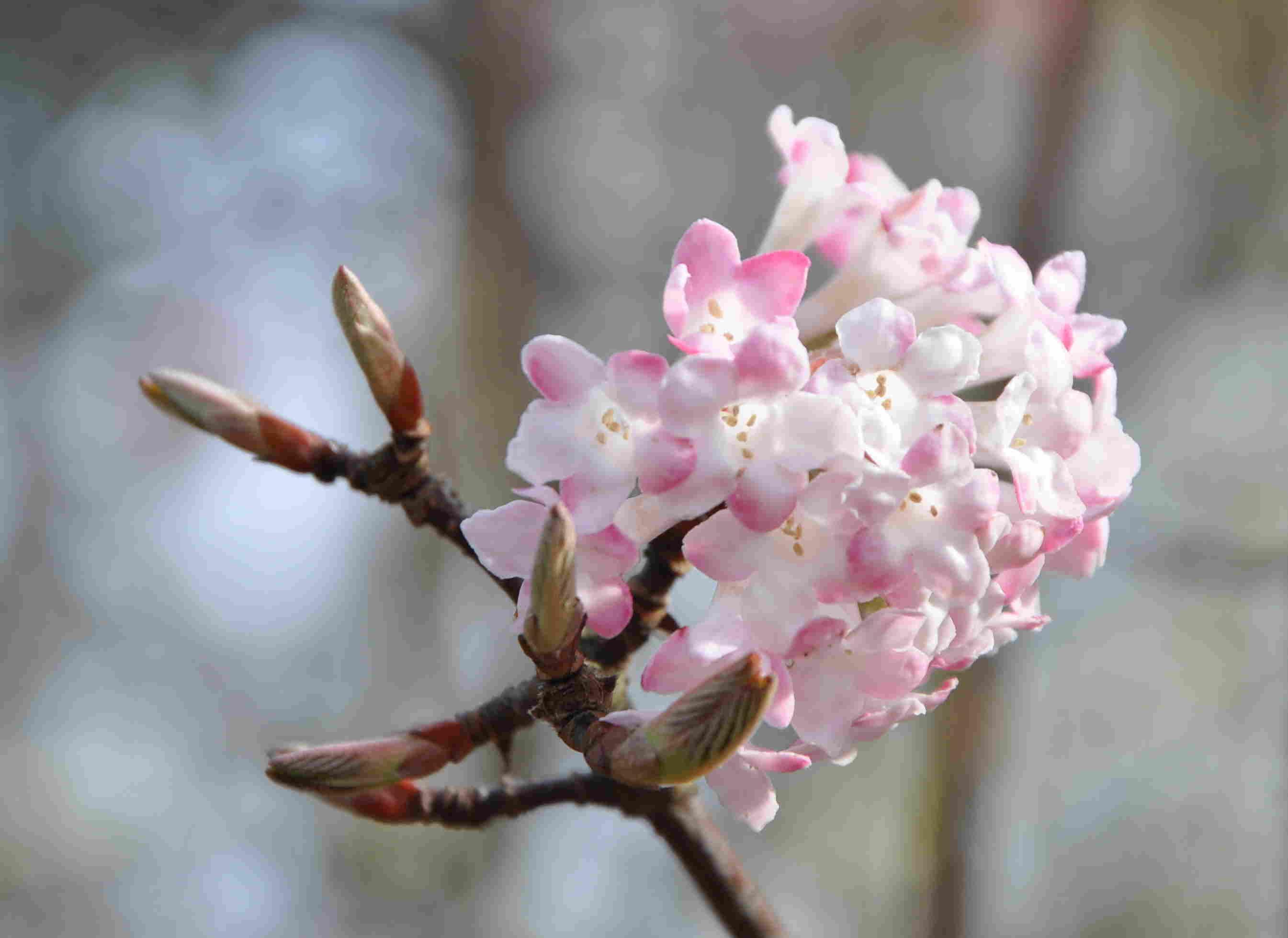 Hybridkejsarolvon är en vinterblommande buske.