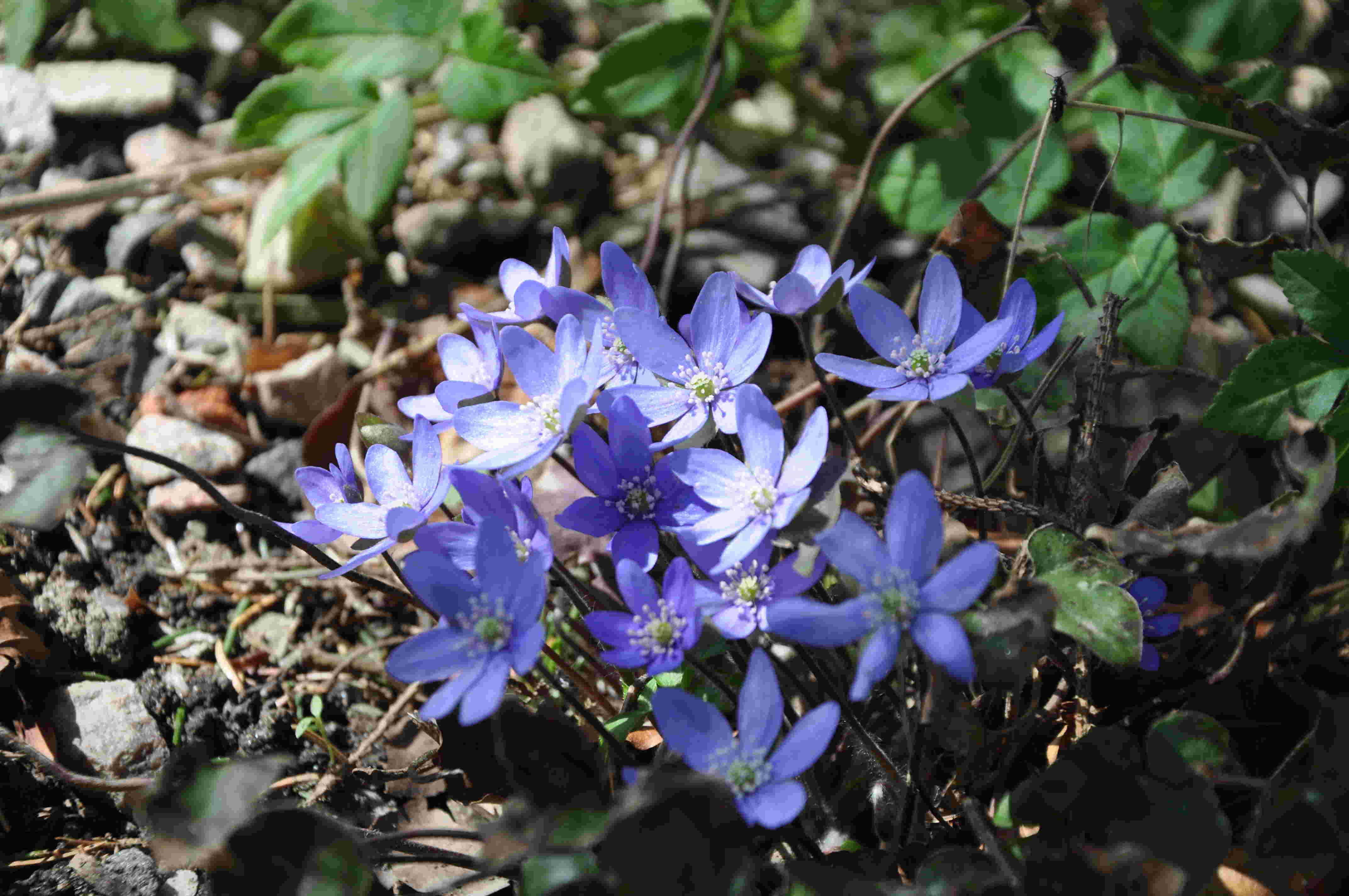 Blåsippan är en vanlig odlad växt som är trendig i Japan.