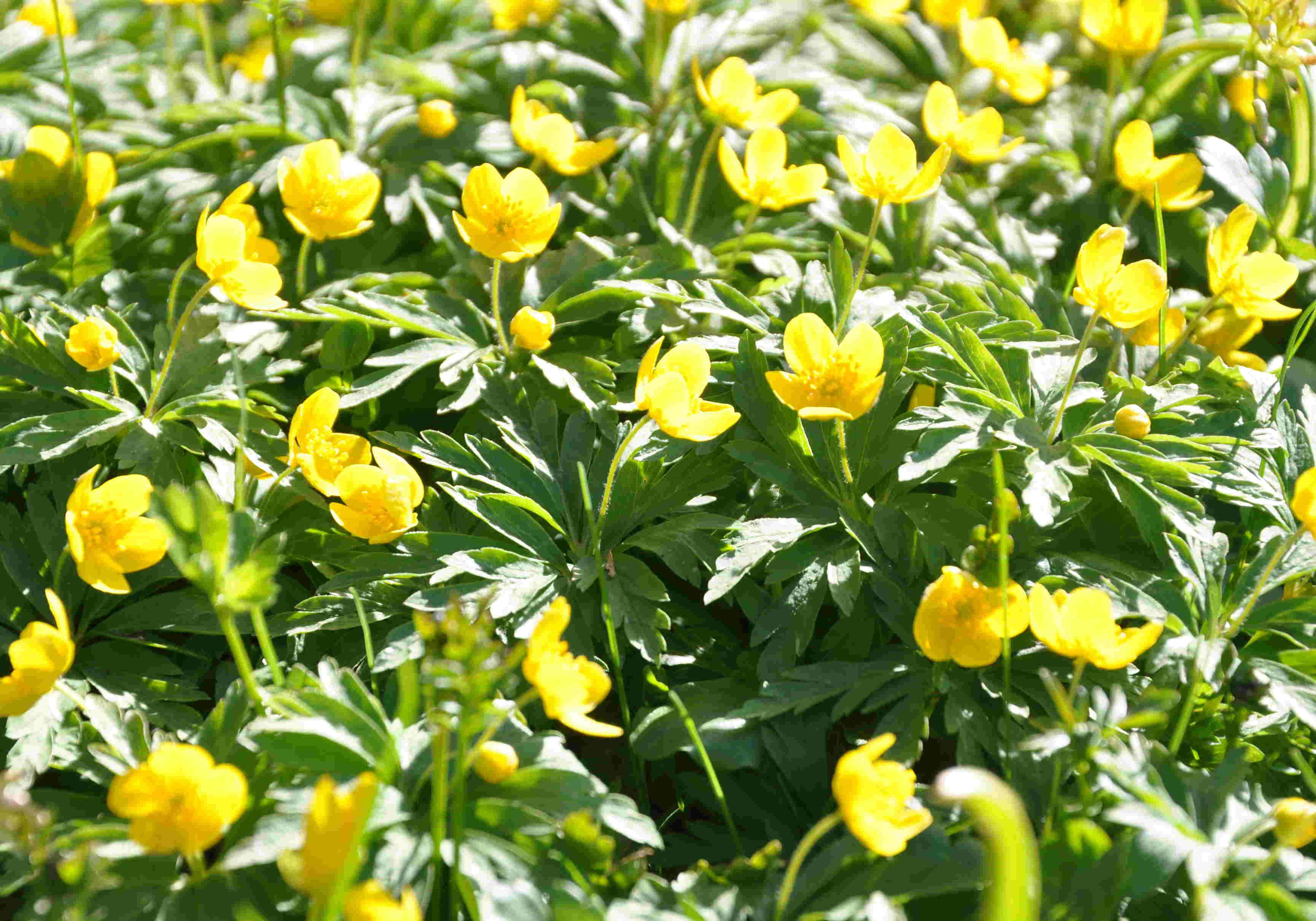 Gulsippan trivs gärna i glesa gräsmattor med god markfukt.