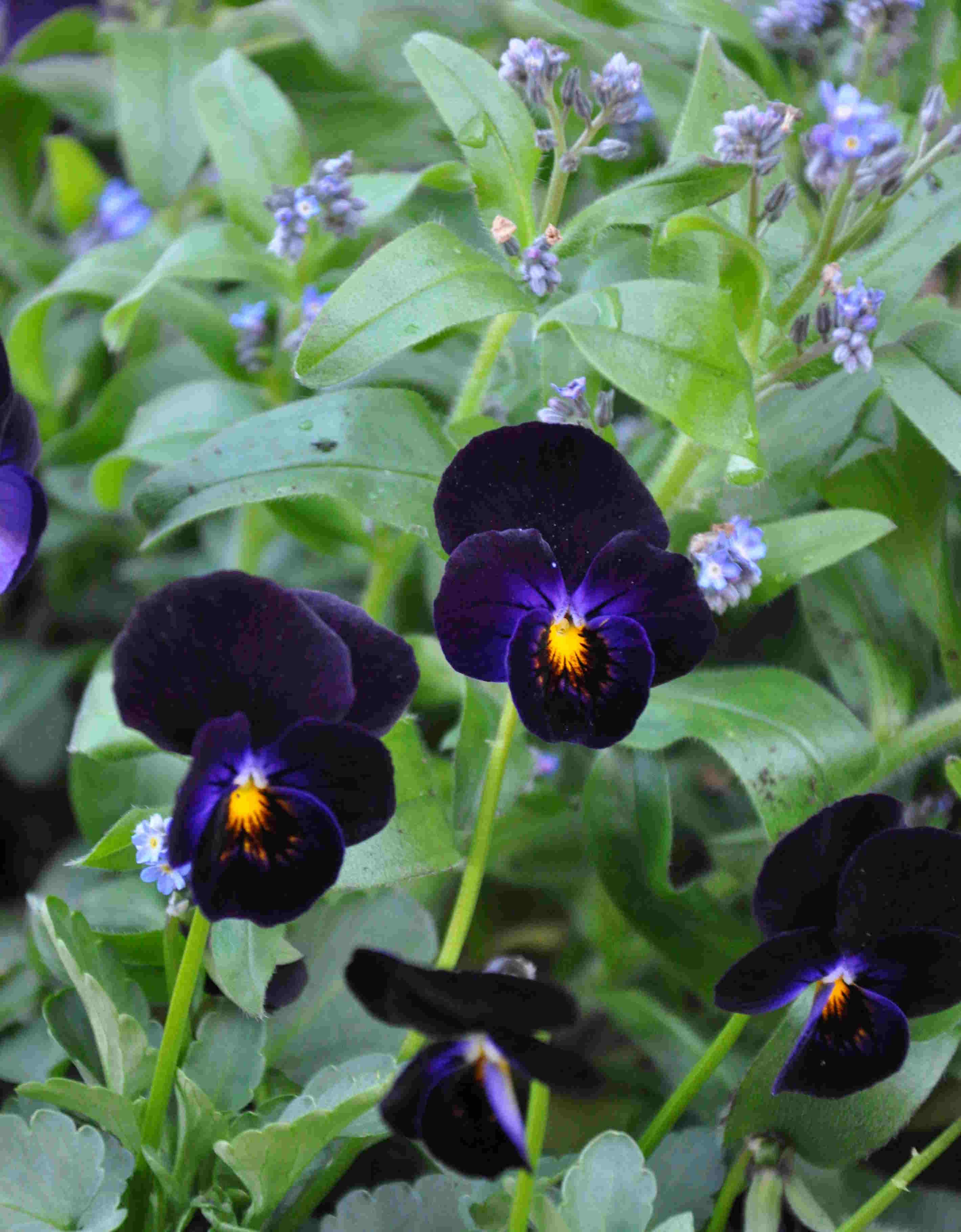 Penseer är de tidigaste violerna att odla i kruka.