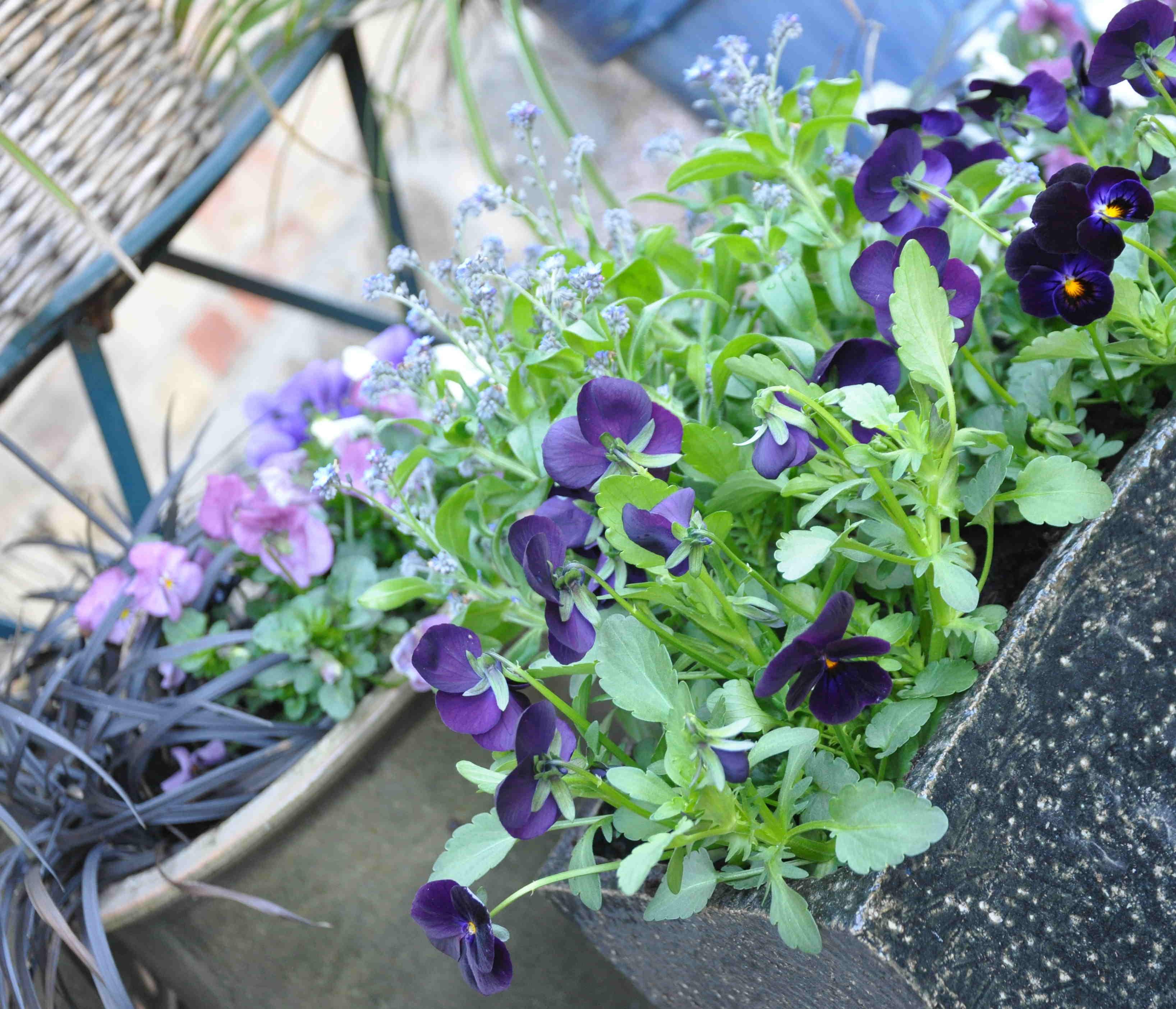 Kombinera olika färger och plantera i många kärl.