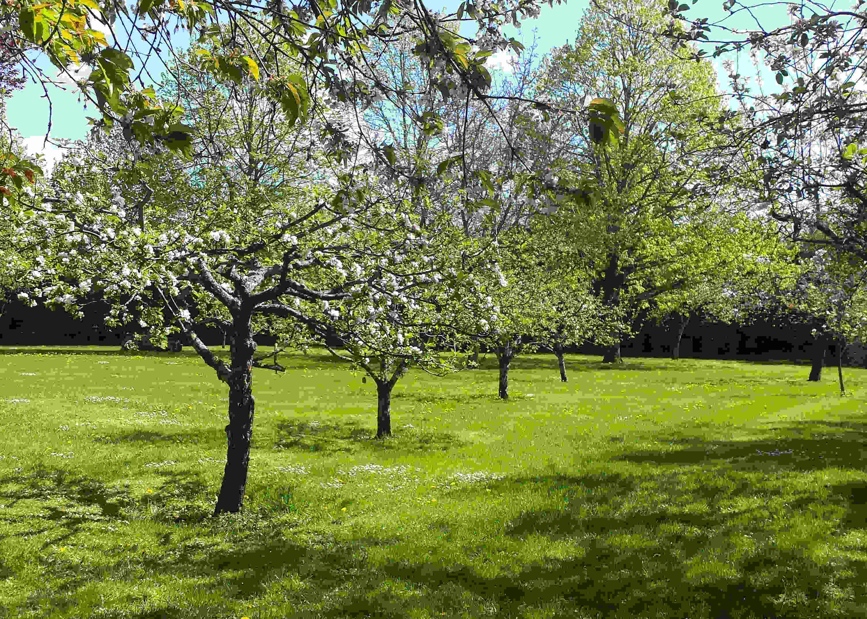 Äpplesorter blommar på olika tider men kräver en pollinerarkompis.