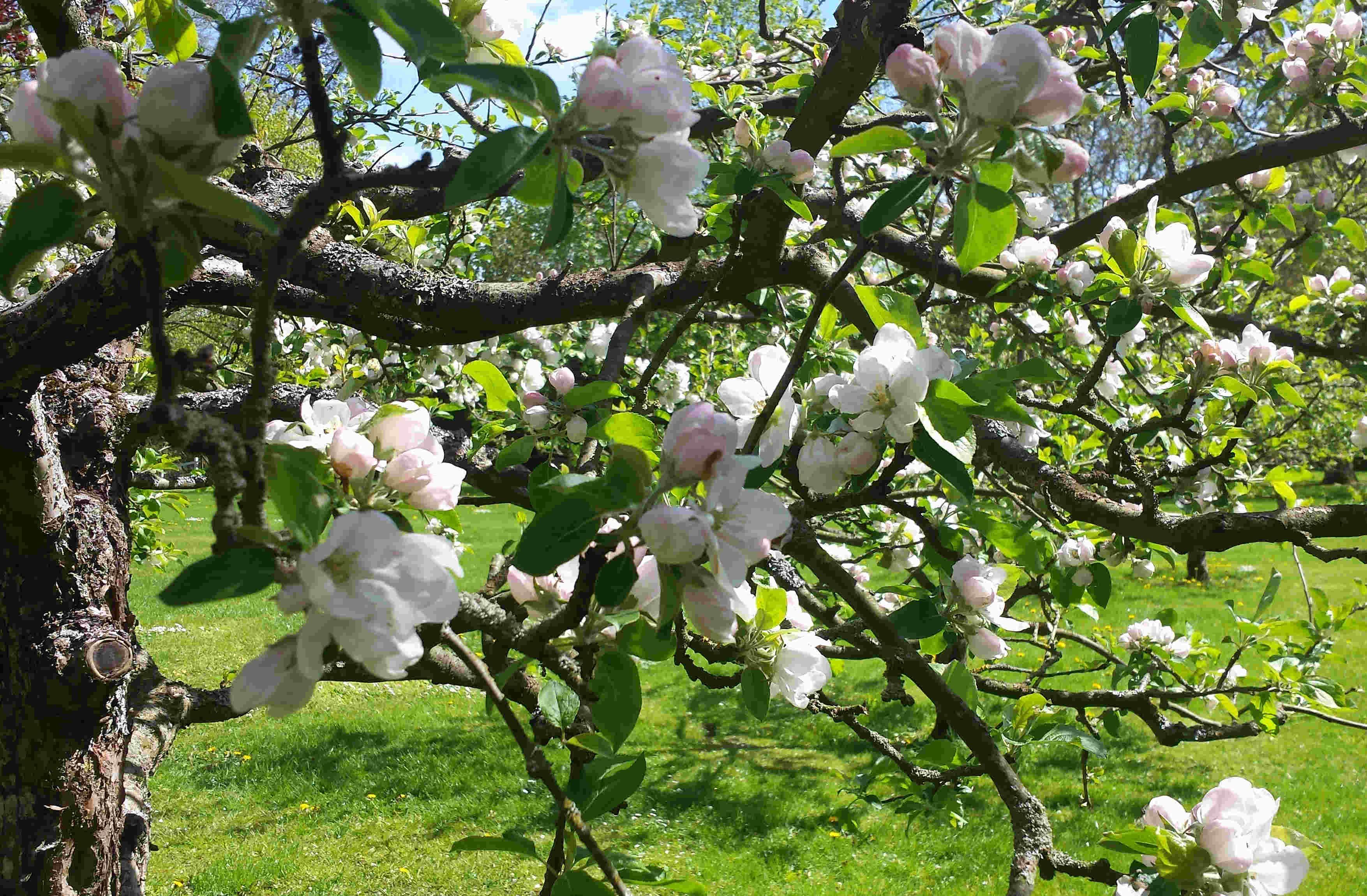 Vädret påverkar äppleträdens pollinering och befruktning.