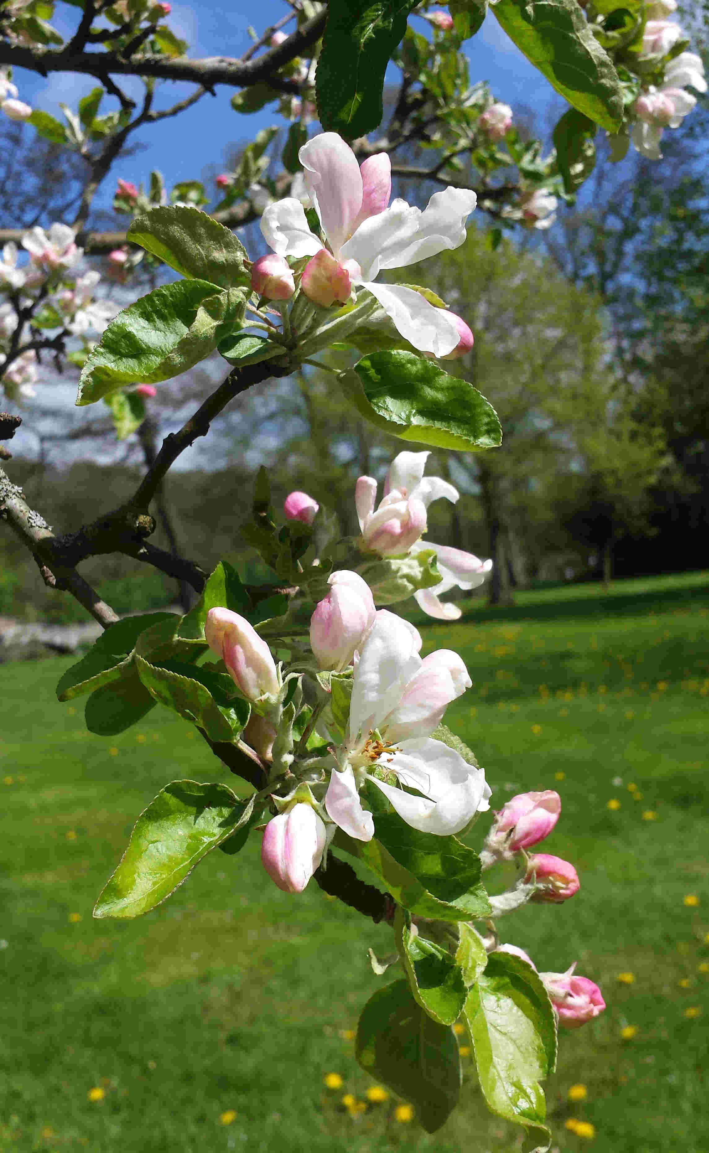 Äppleträden pollineras av bin och andra insekter.