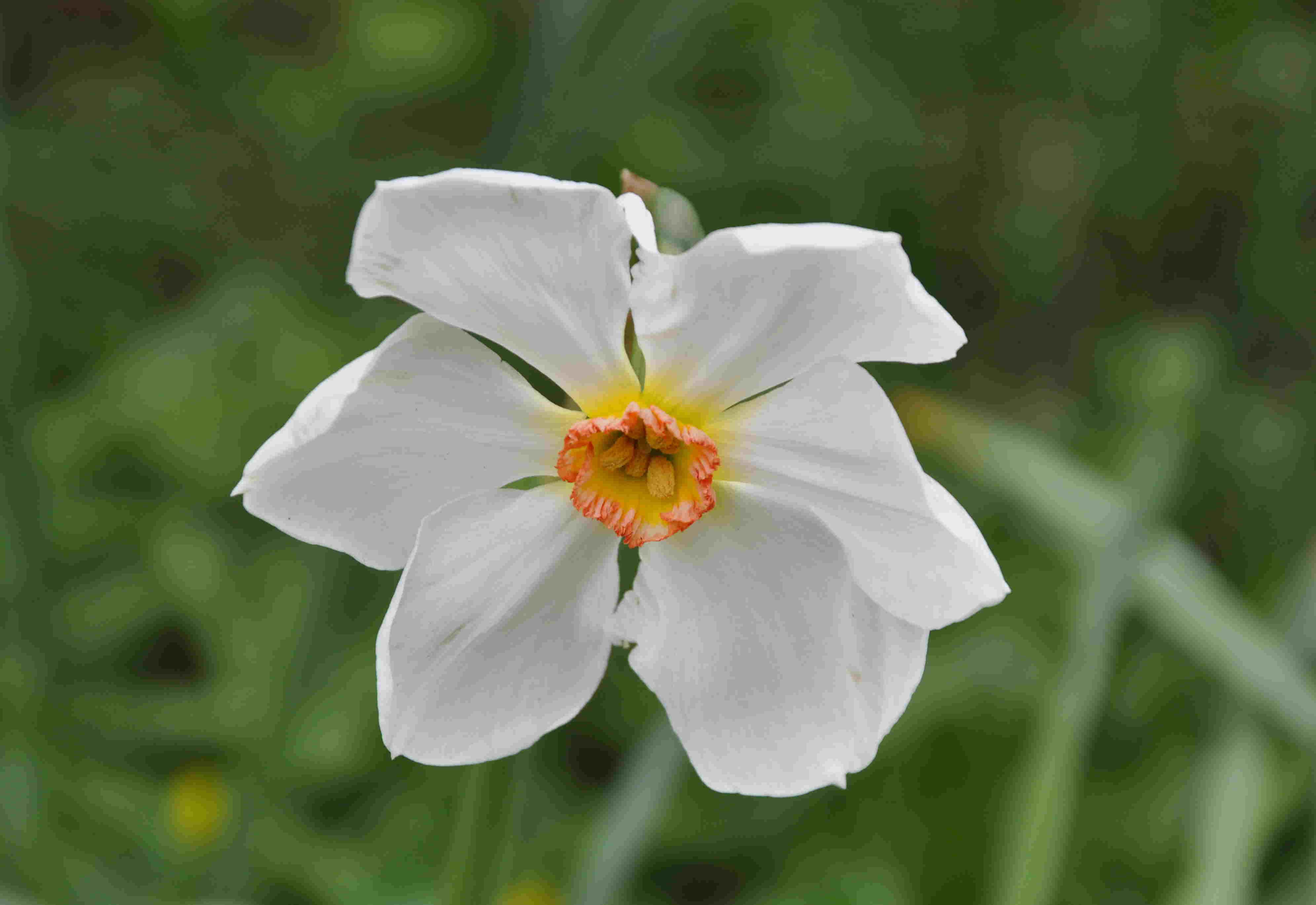 Pingstliljor och påskliljor återkommer år från år i rabatten.