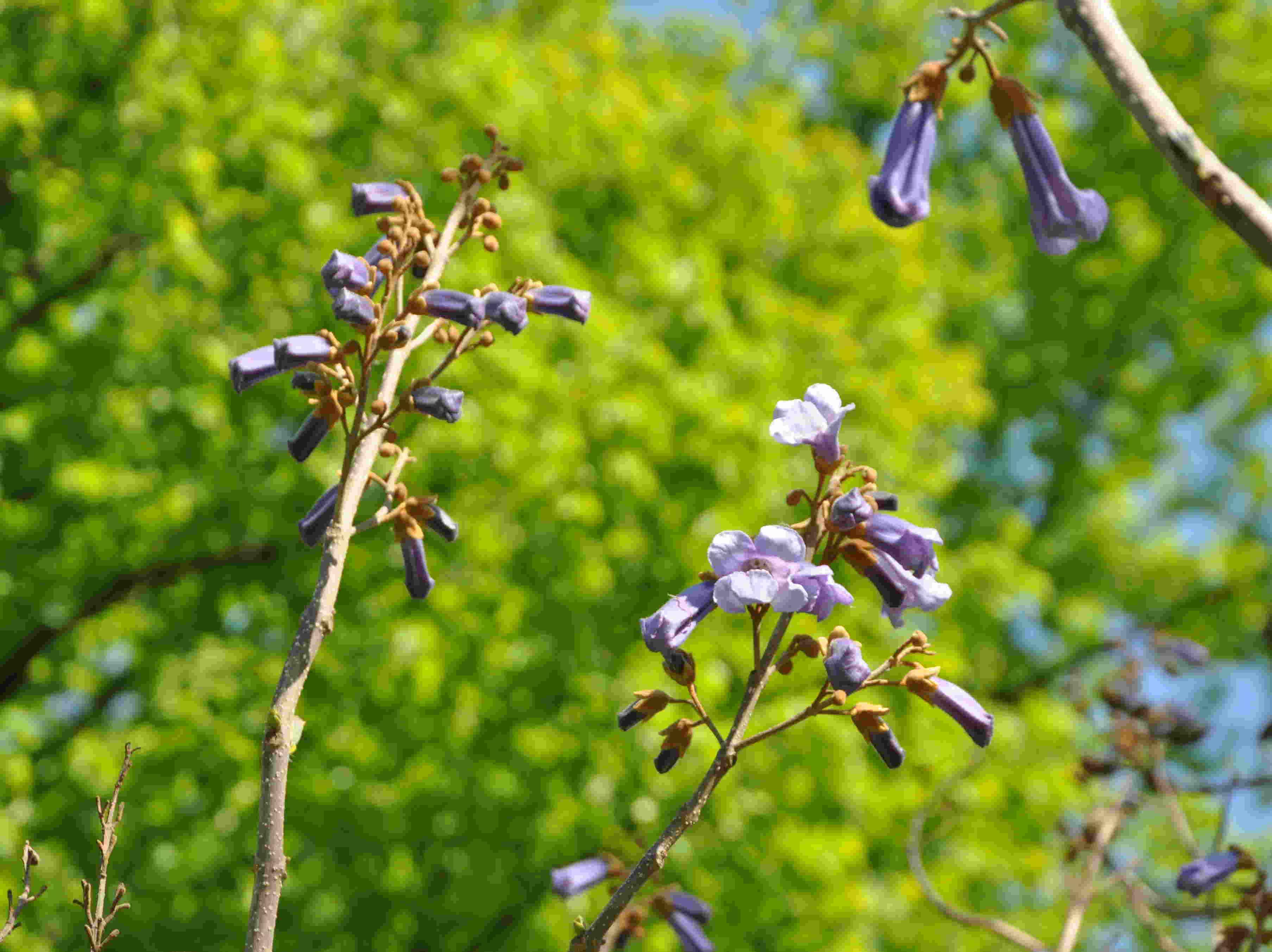 Kejsarträdet blommar på bar kvist.