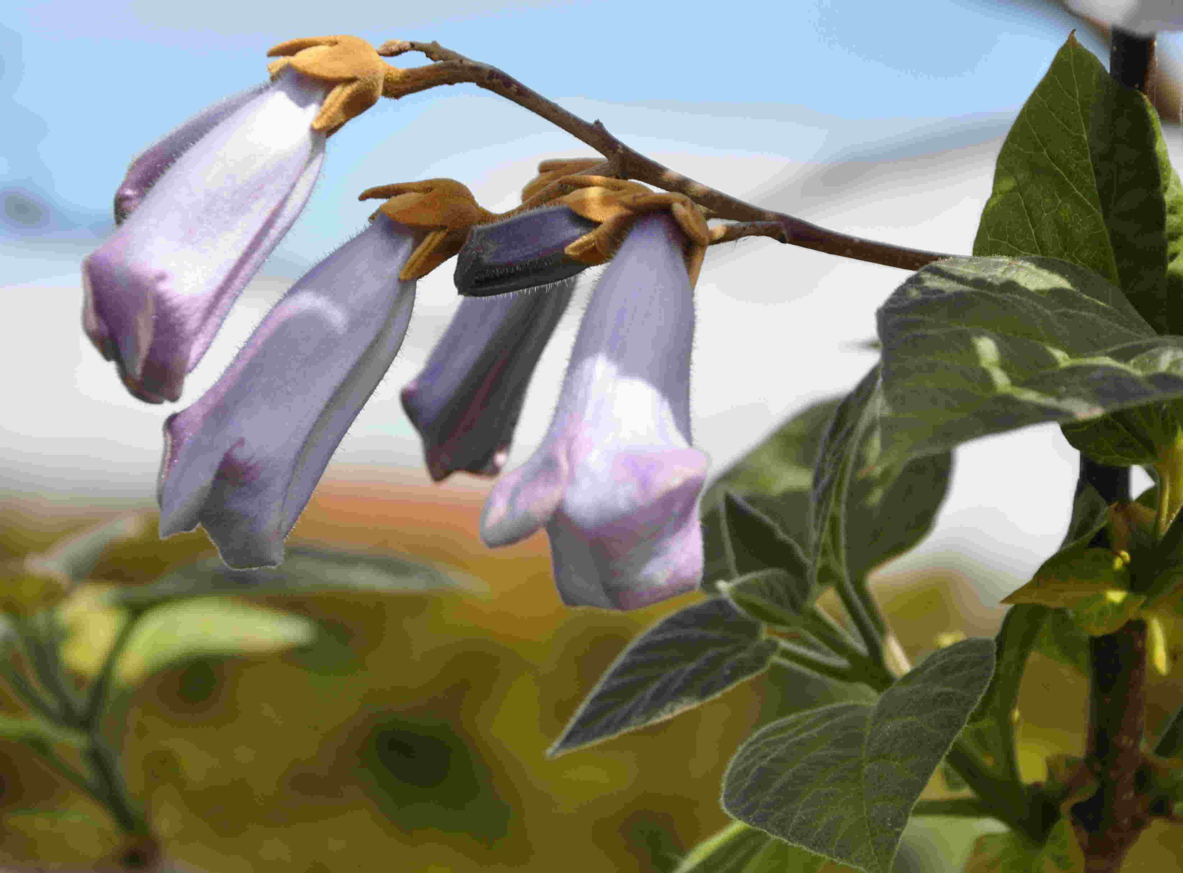 De filtklädda bruna skotten och småbladen är karaktäristiska för kejsarträdet.