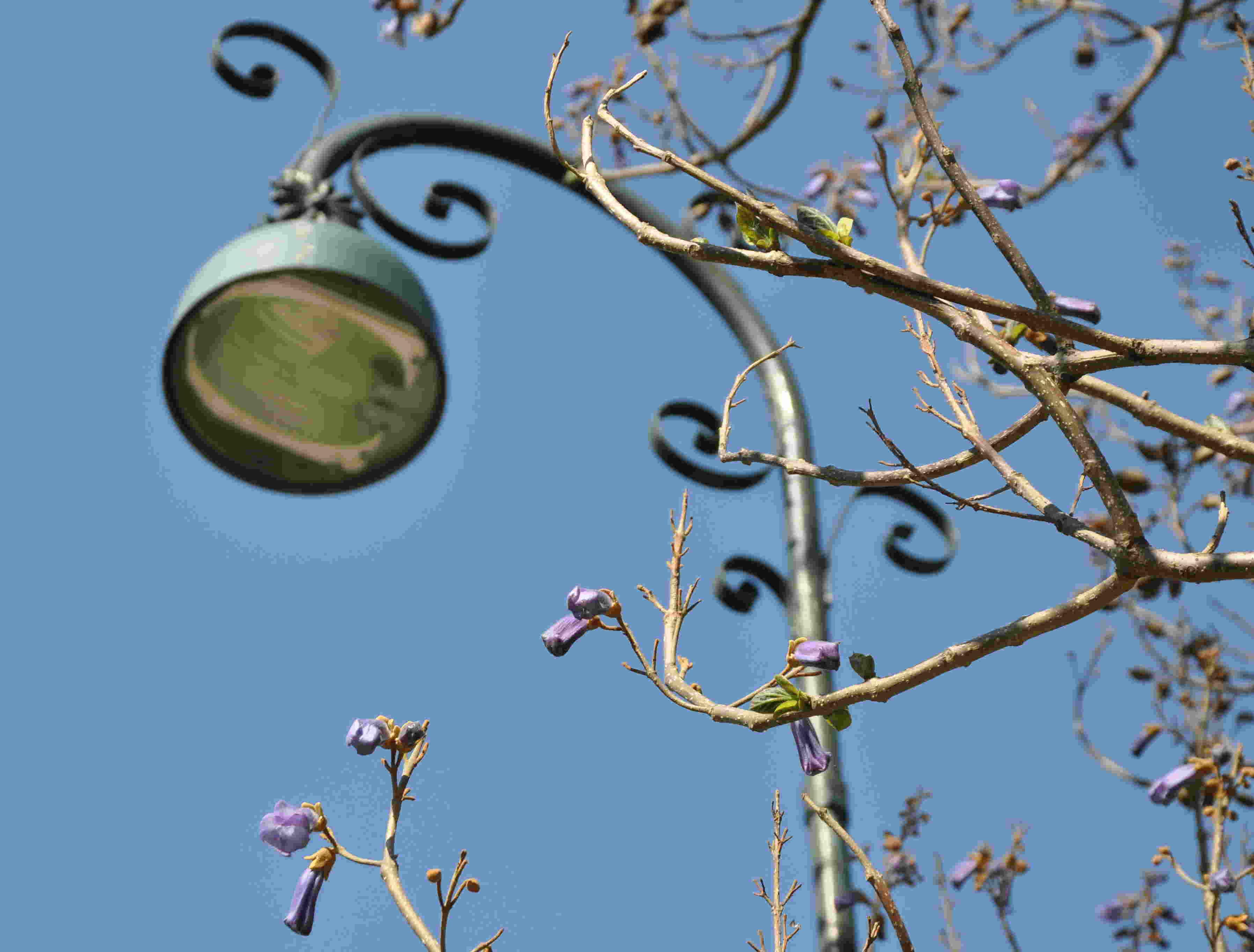 Kejsarträdet blommar inte varje år.