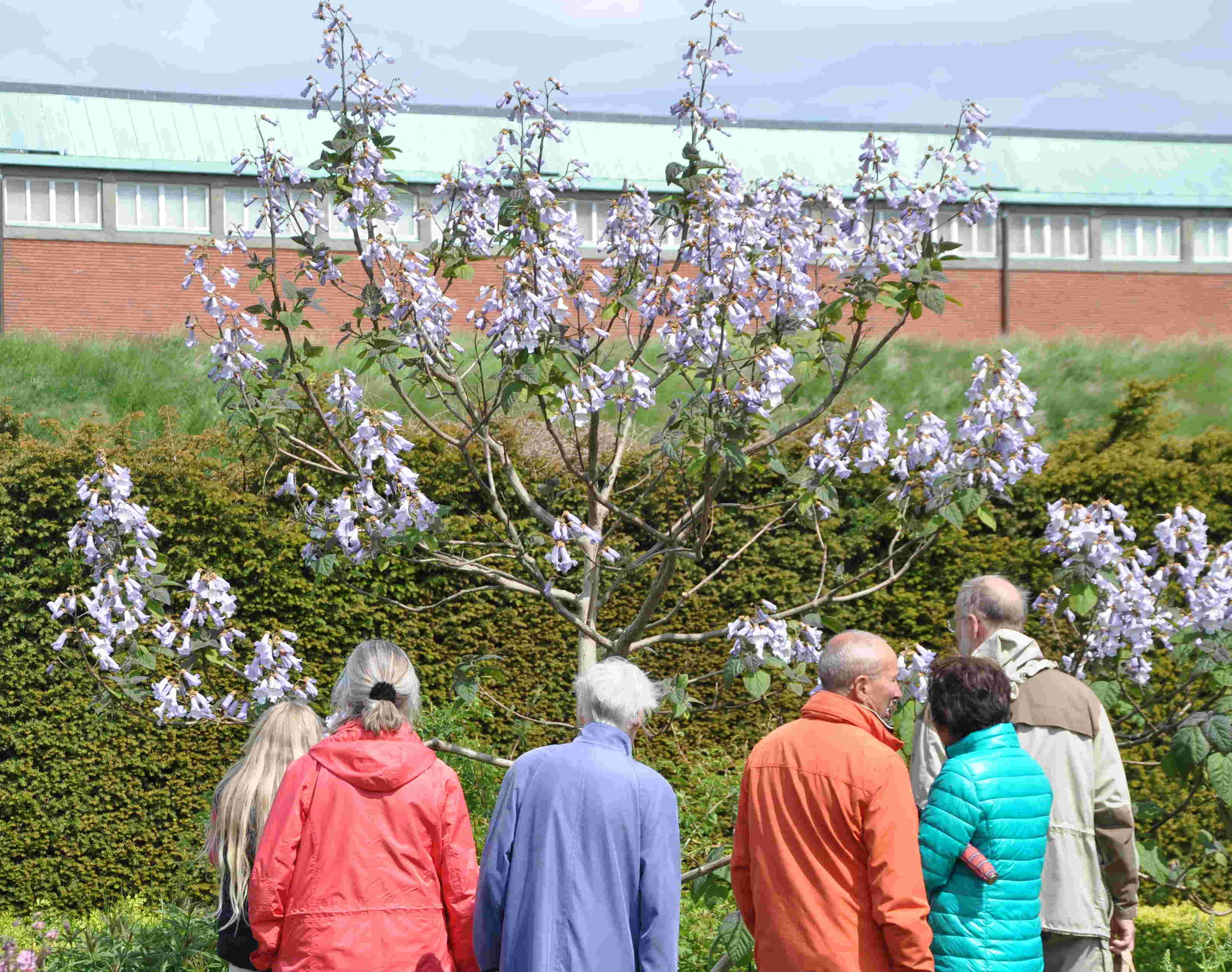 Många stannar för att beundra kejsarträdet i blom.