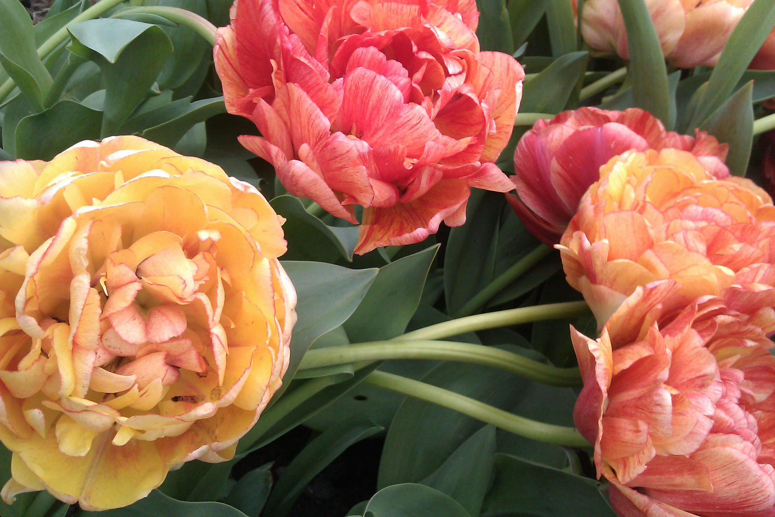 Fylldblommande tulpaner får tunga blommor som lätt bryts av regn och vind.
