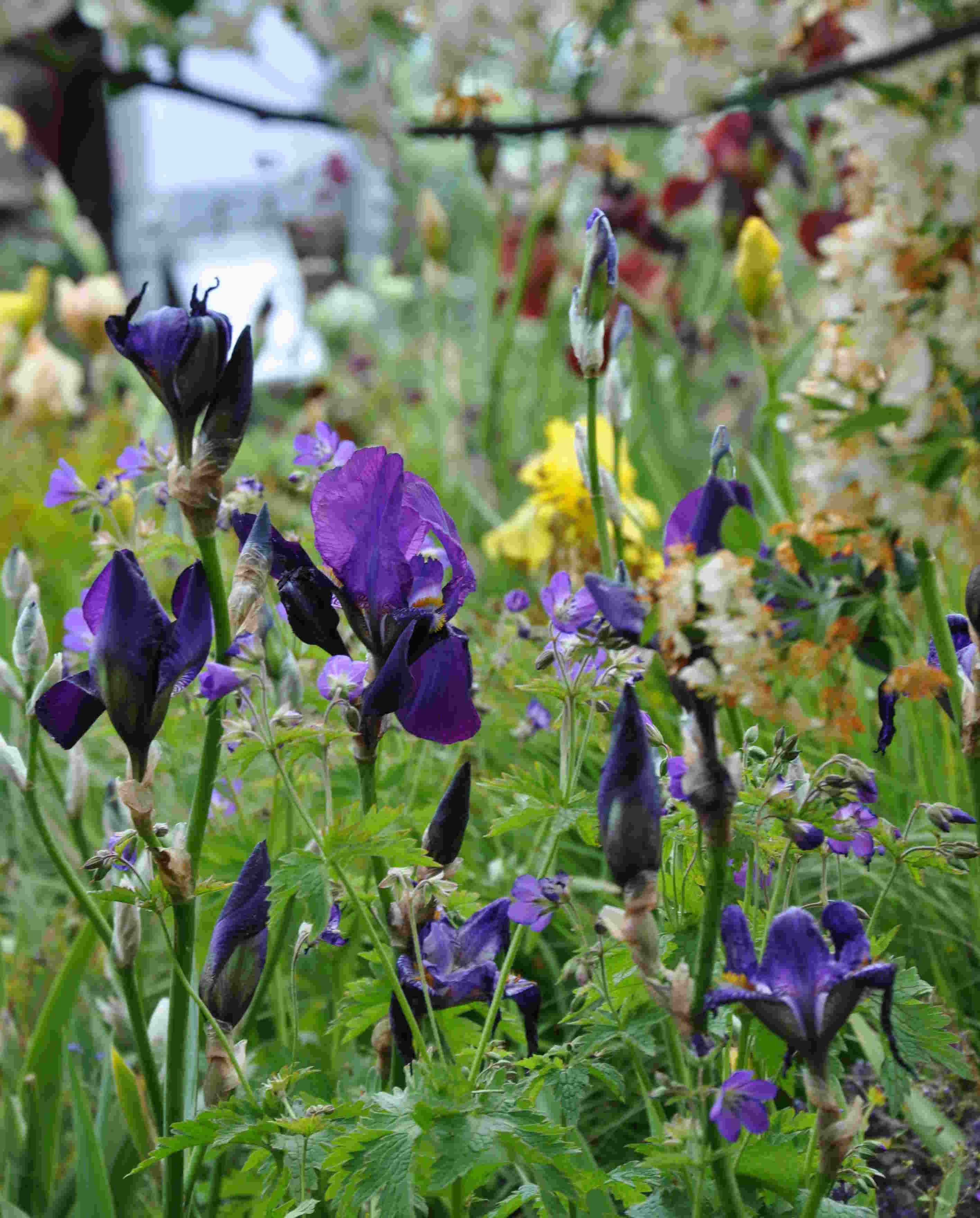 Iris i blått och gult är försommarens perenn.