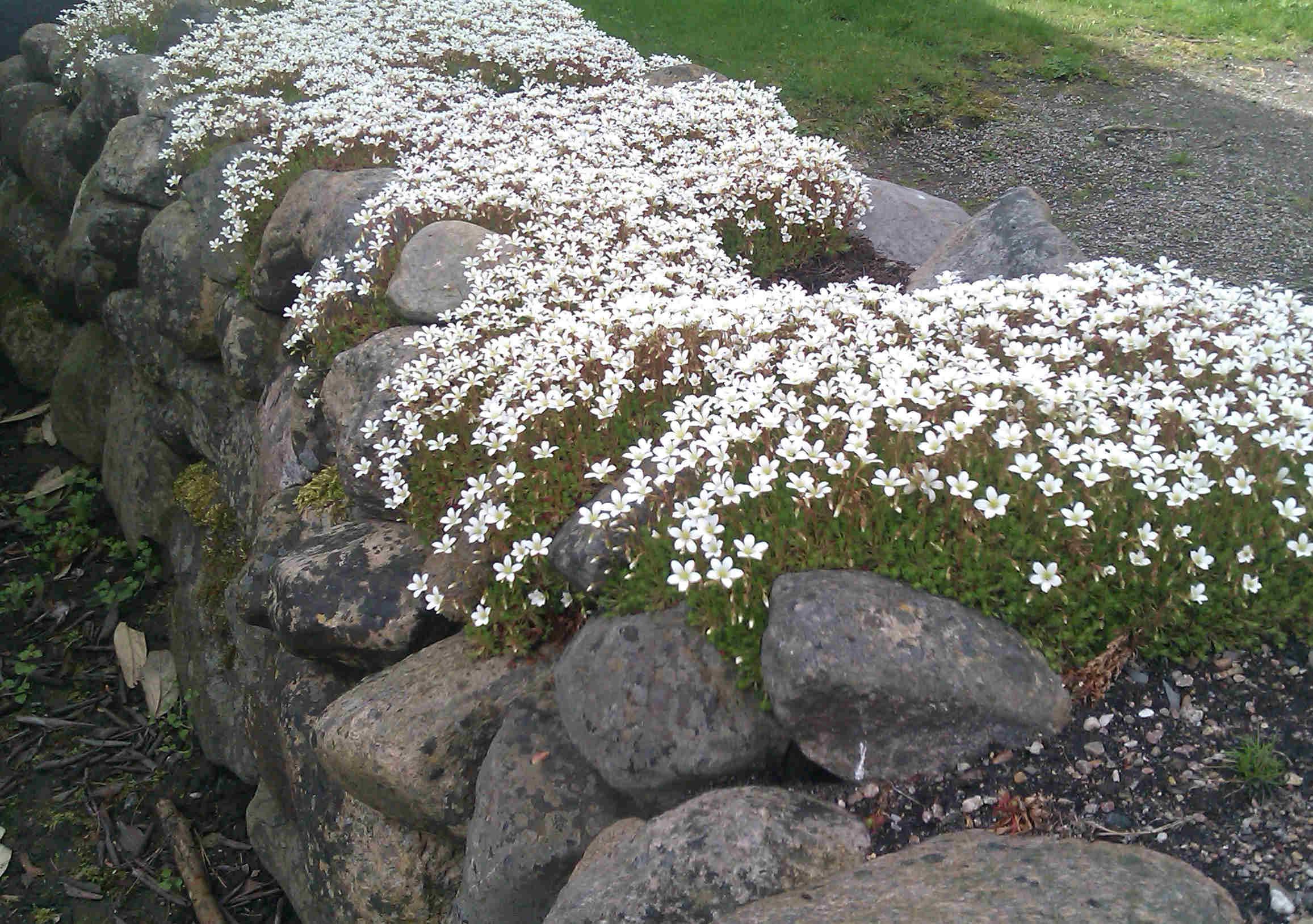 Rosenbräckan är en marktäckande växt som trivs i stenpartier.