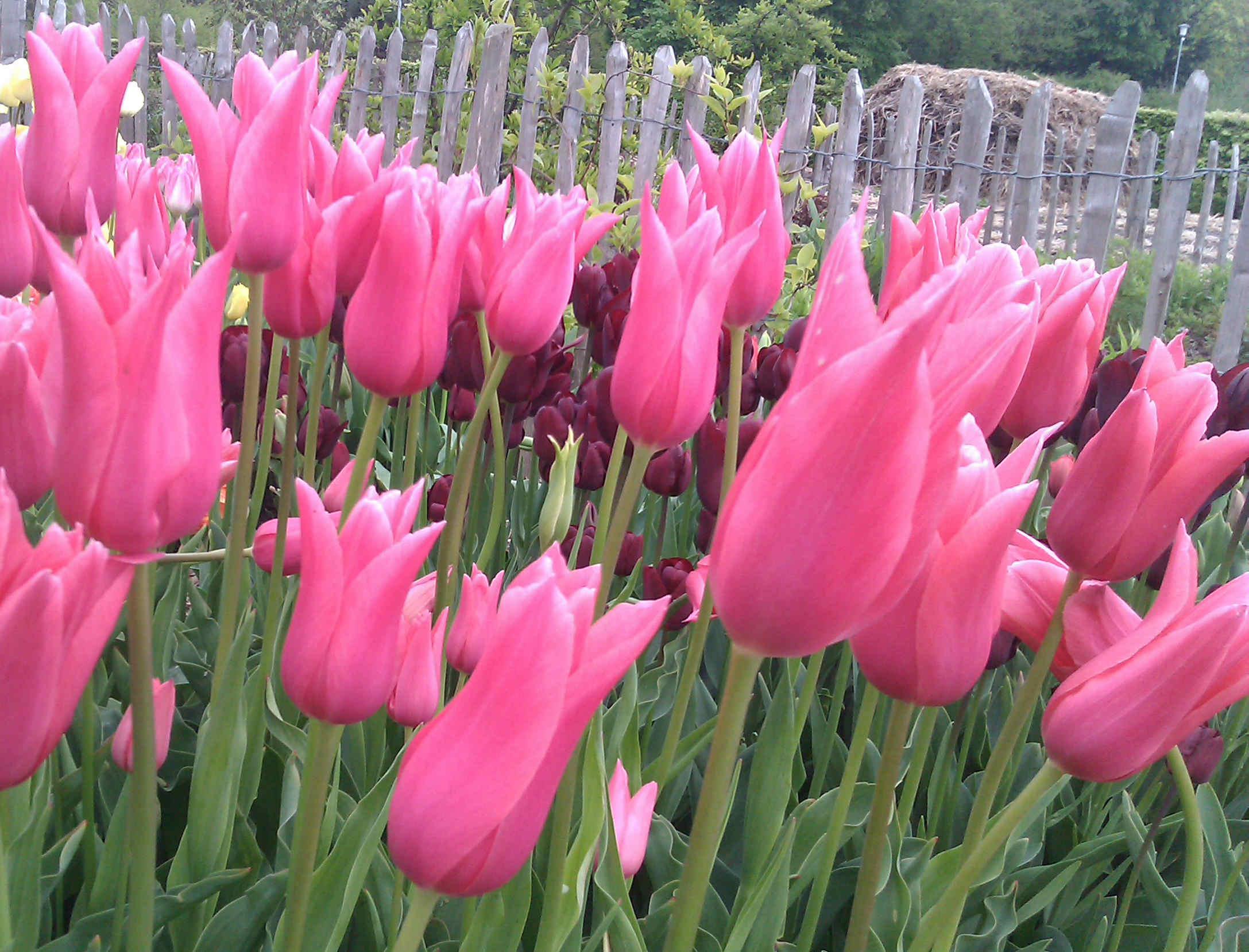 Tulpaner finns i nästan alla färger, förutom blått.
