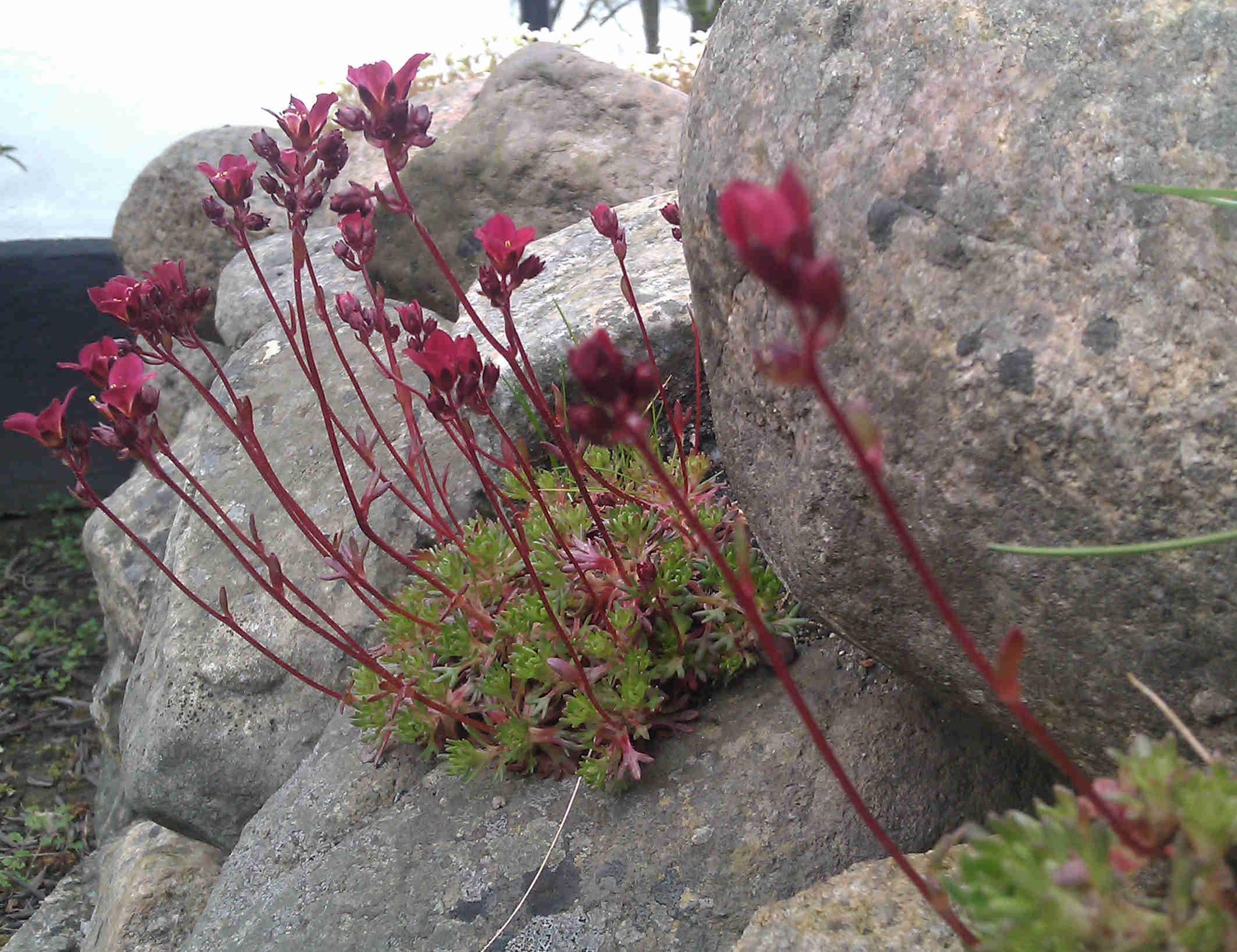 Saxifragan har stora blommor på smala blomskaft.