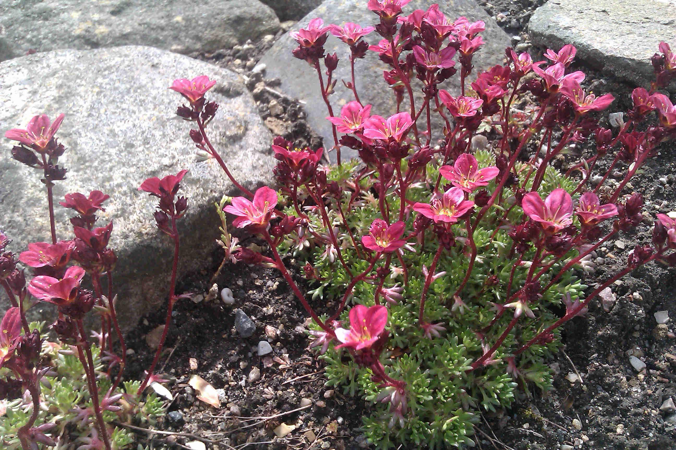Rosenbräcka finns i olika färger och klättrar på murar.