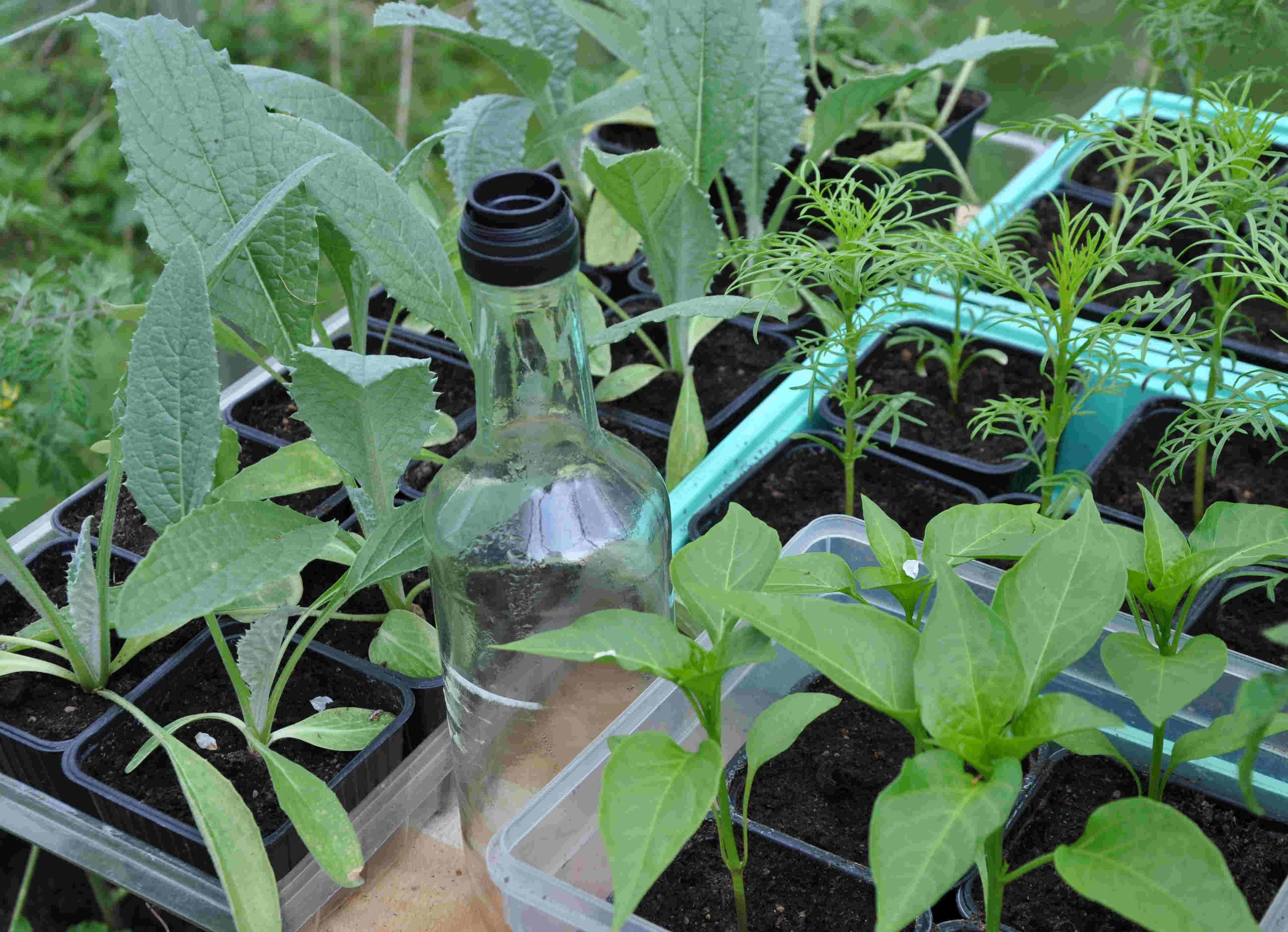 Småplantor kan gärna förodlas i växthuset där det är ljust och lagom temperatur.