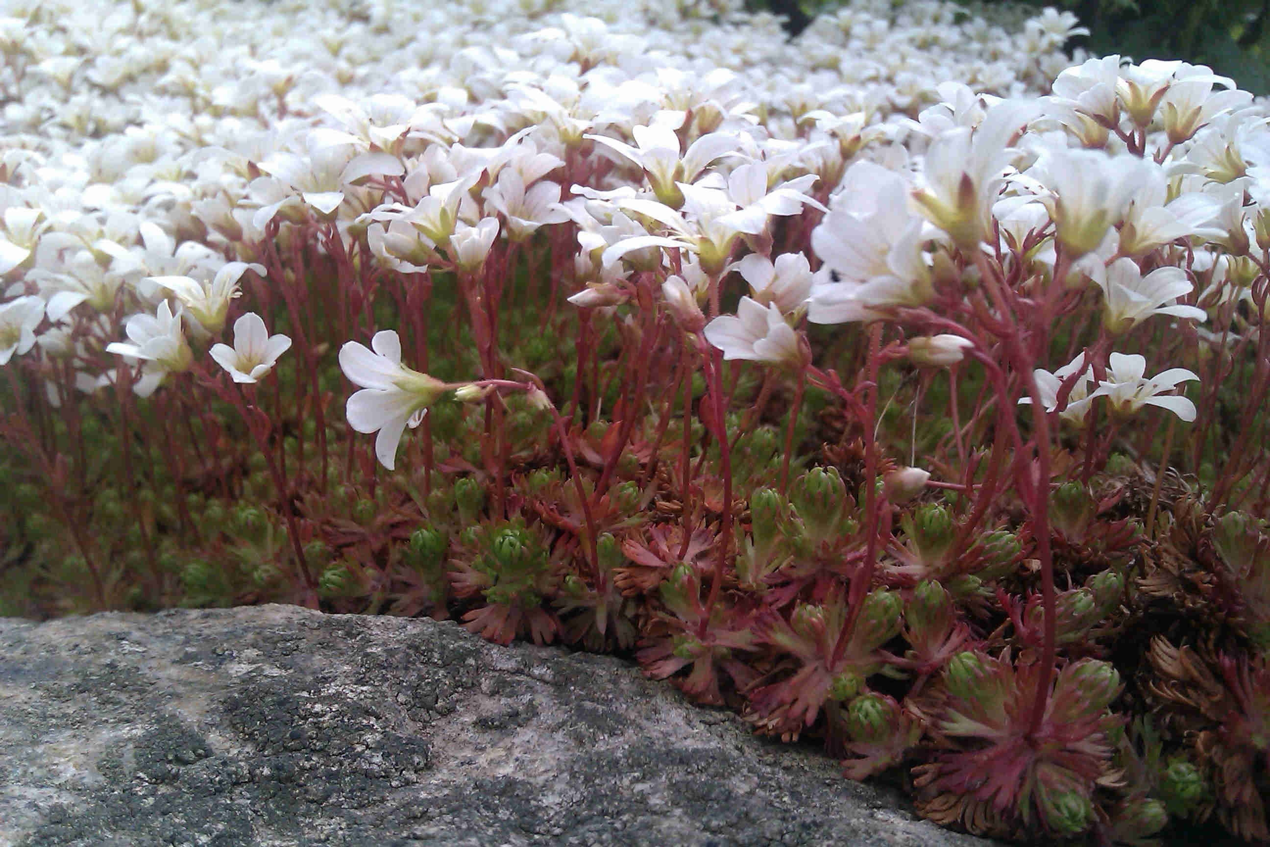Stenpartiväxter trivs i mager jord.