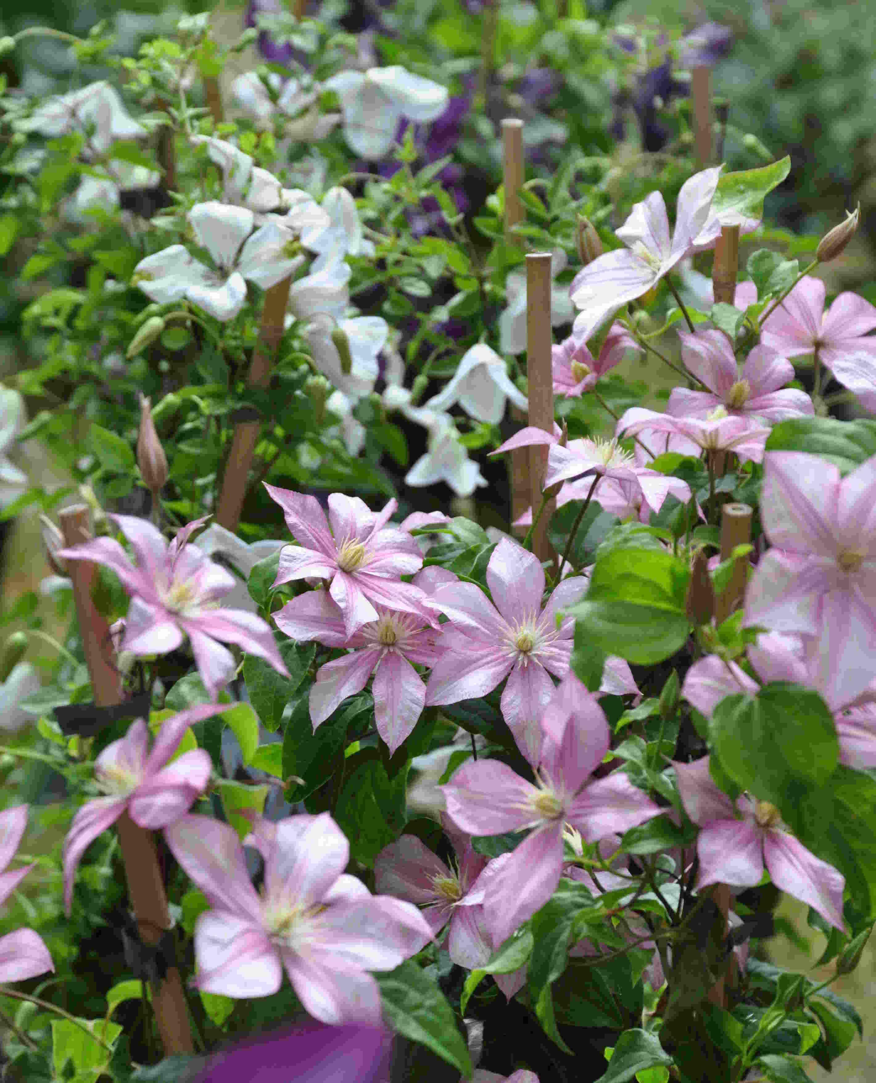 Färgen på klematisblommorna kan blekna i solen så plantera den gärna halvskuggigt.