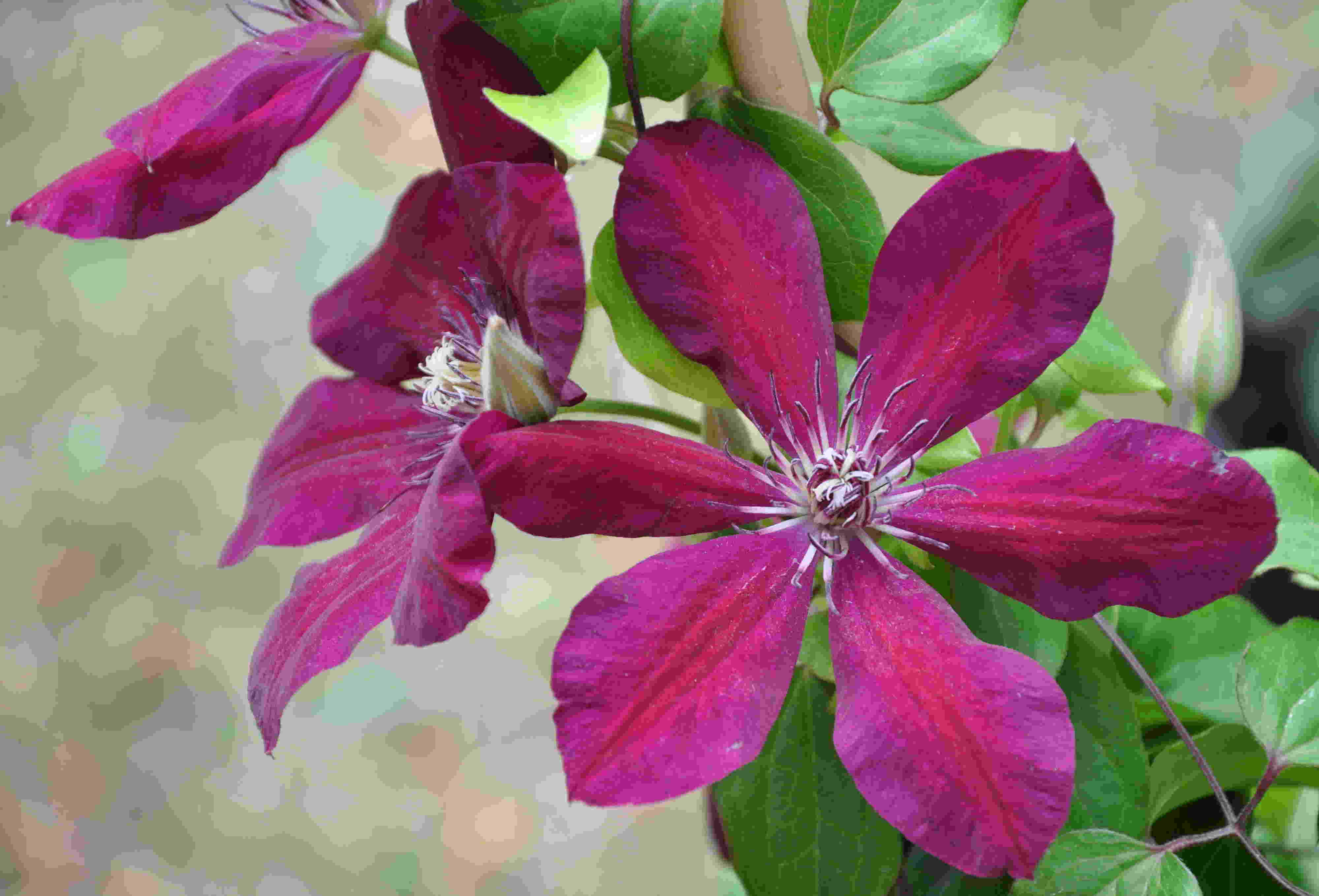 Storblommiga klematis är mer näringskrävande.