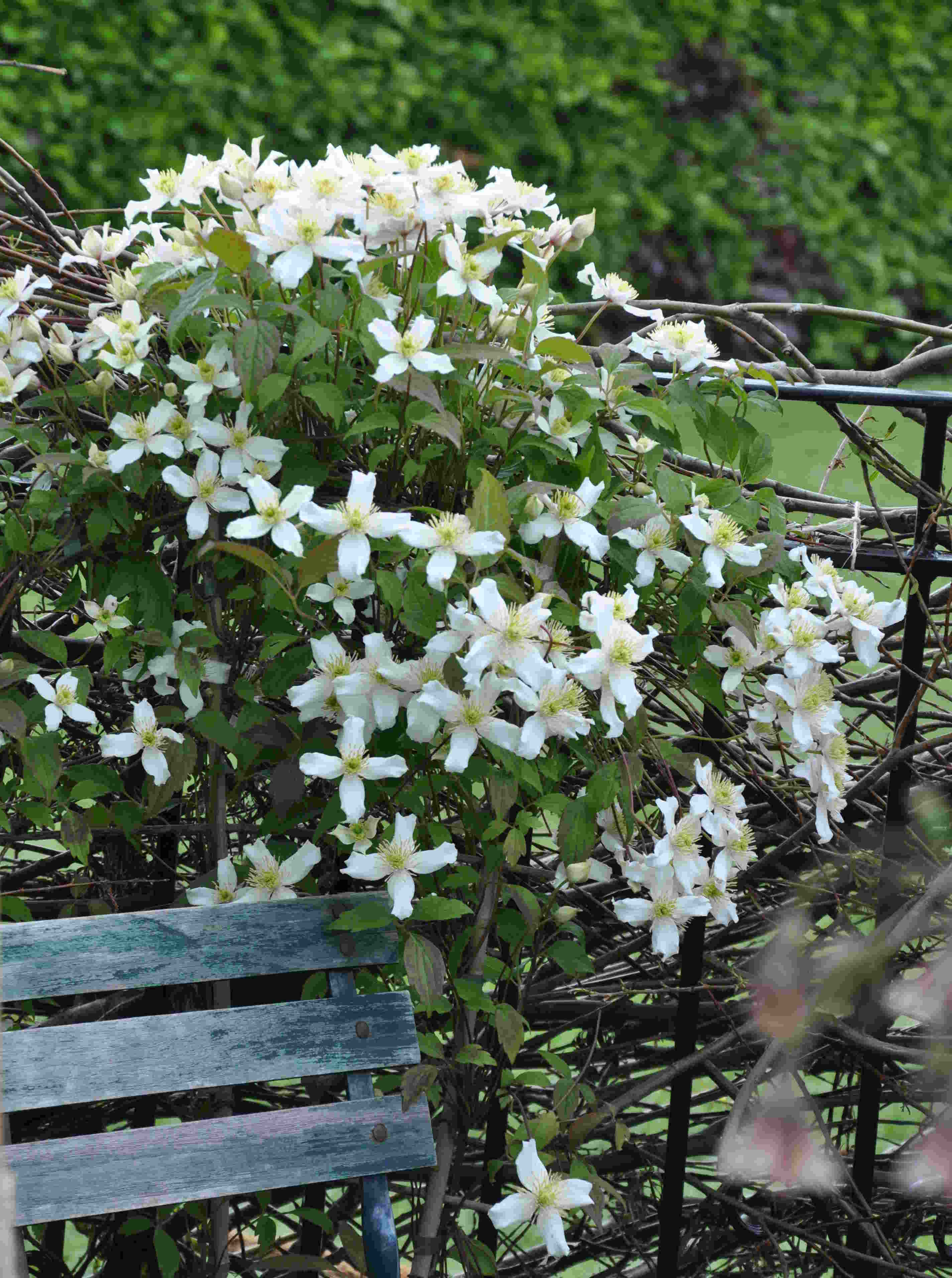 Småblommiga klematis kan beskäras försiktigt om våren.