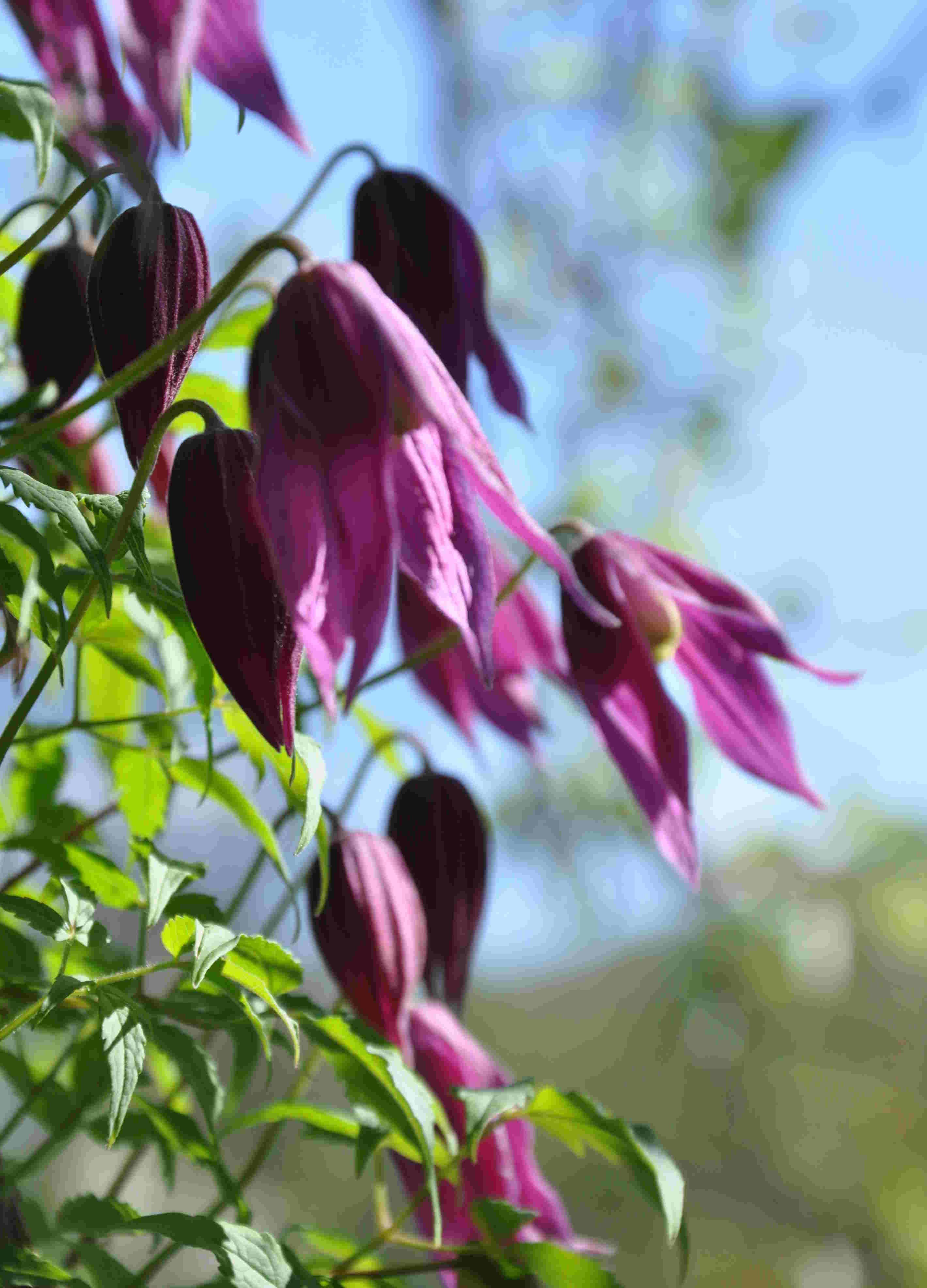 Klockformiga blommor är typsikt för Atrageneklematis.
