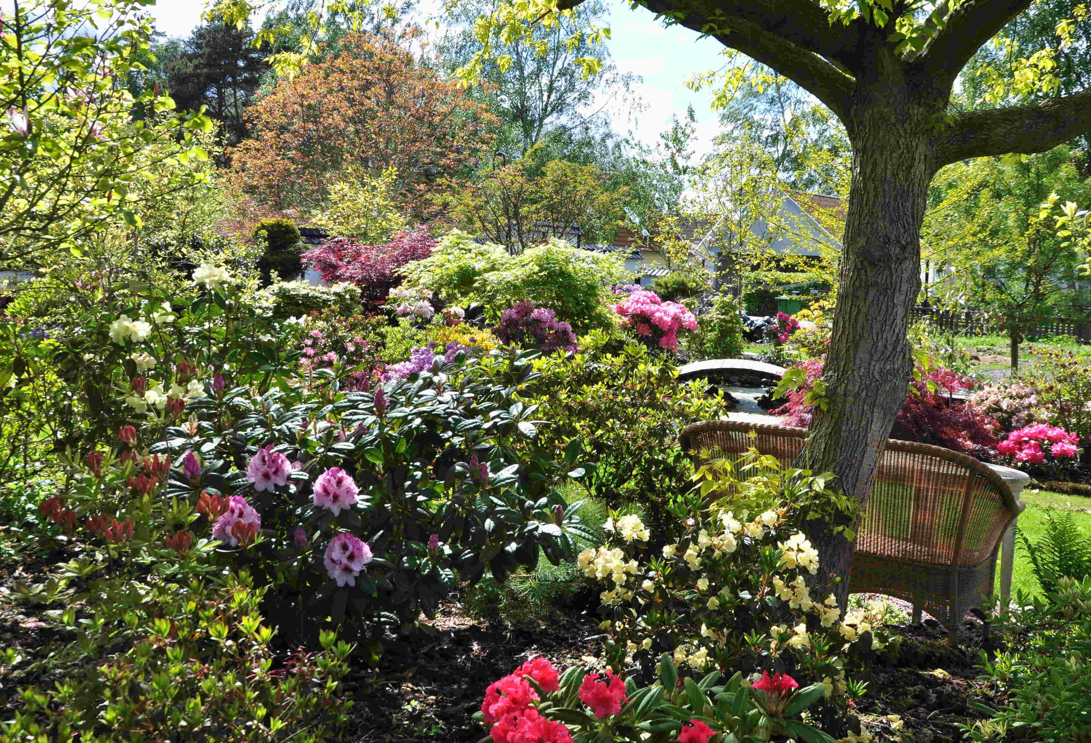 En rhododendronträdgård är ganska lättskött när man väl fått den på plats.