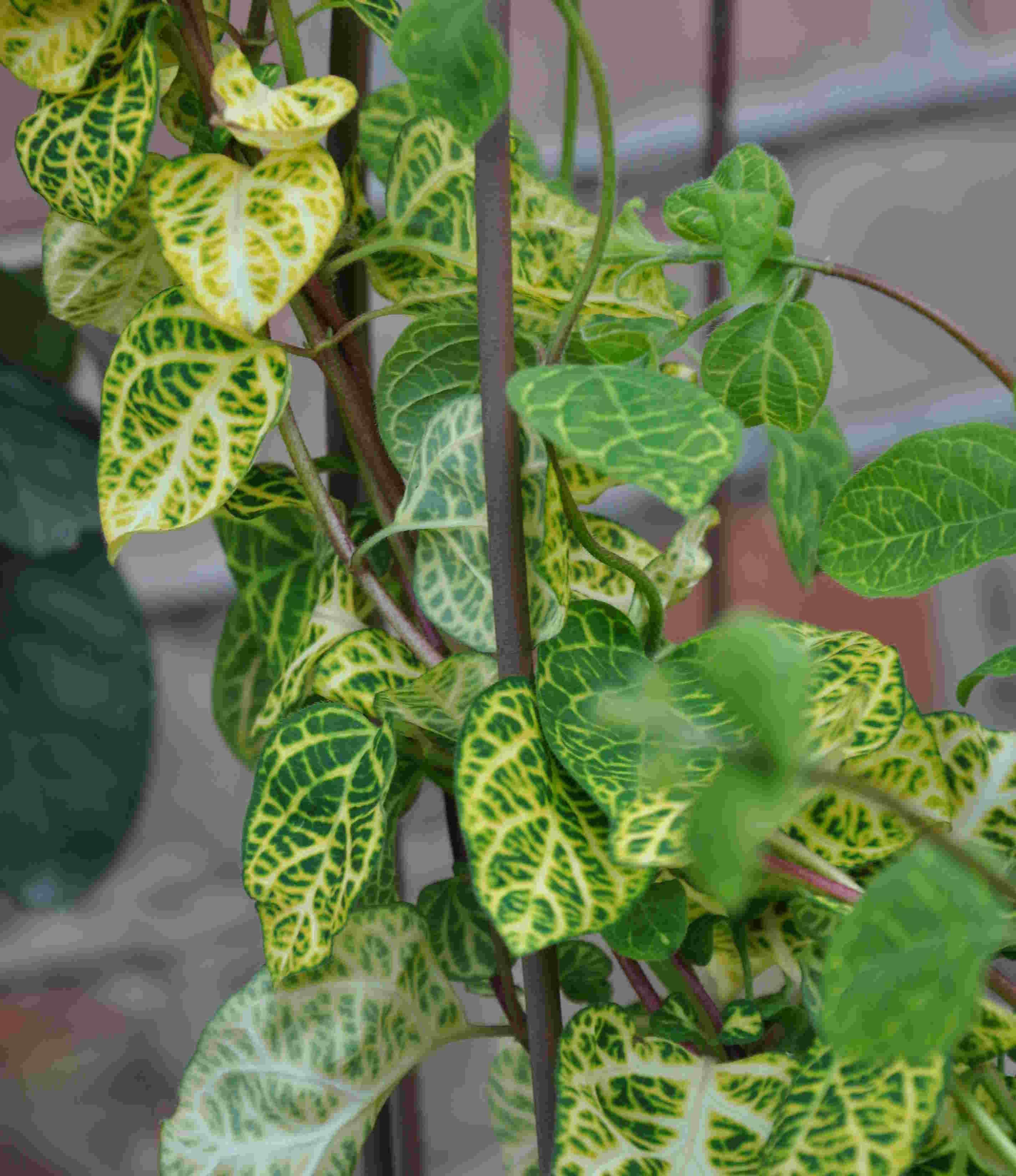 Klängväxter är tacksamma för att ge höjd i planteringen.