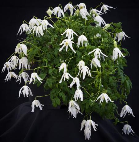 Klematis Tuva är svagväxande och rikblommig ampelväxt.