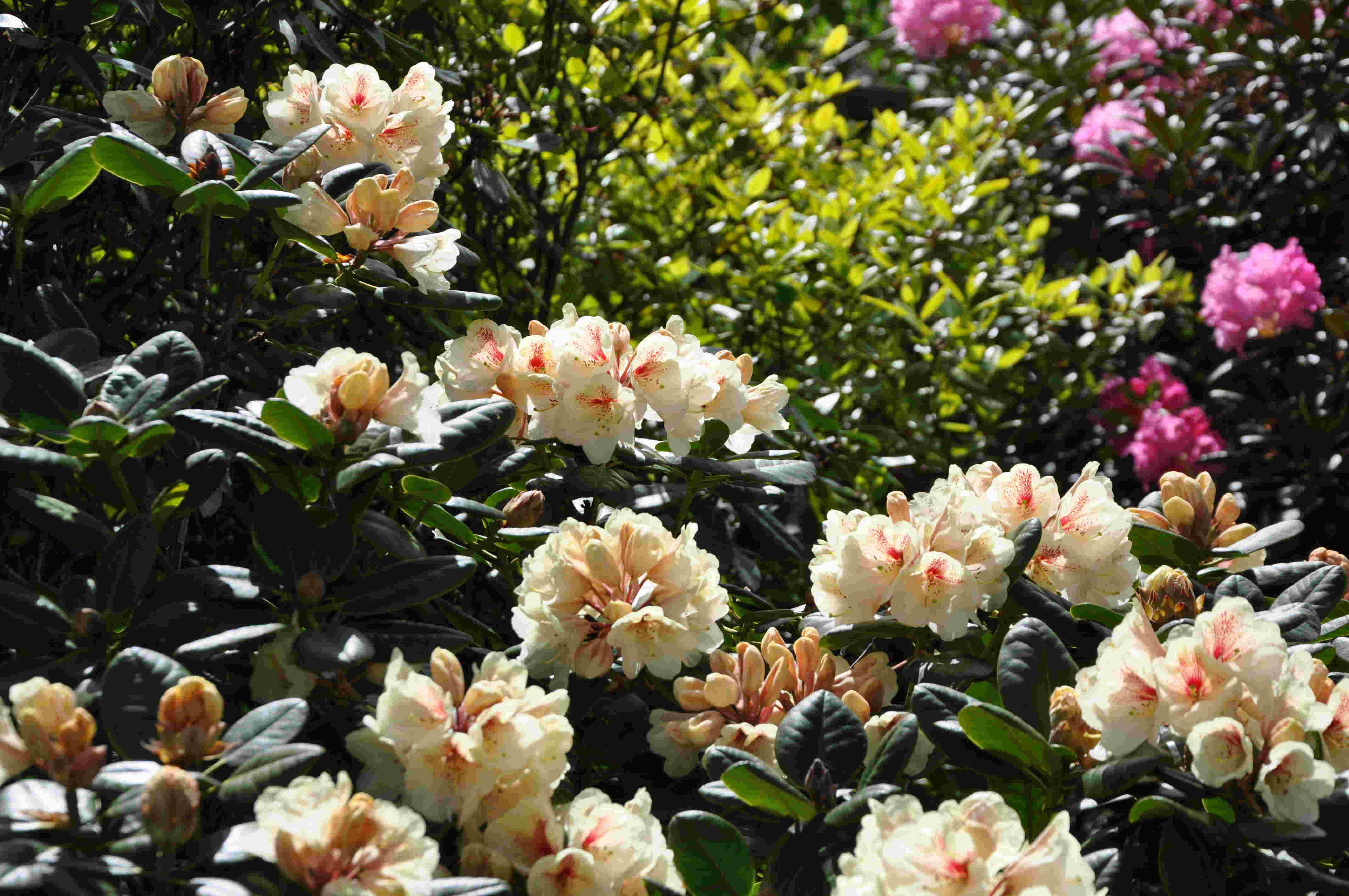 Rhododendron finns i nästan vilka färger som helst.