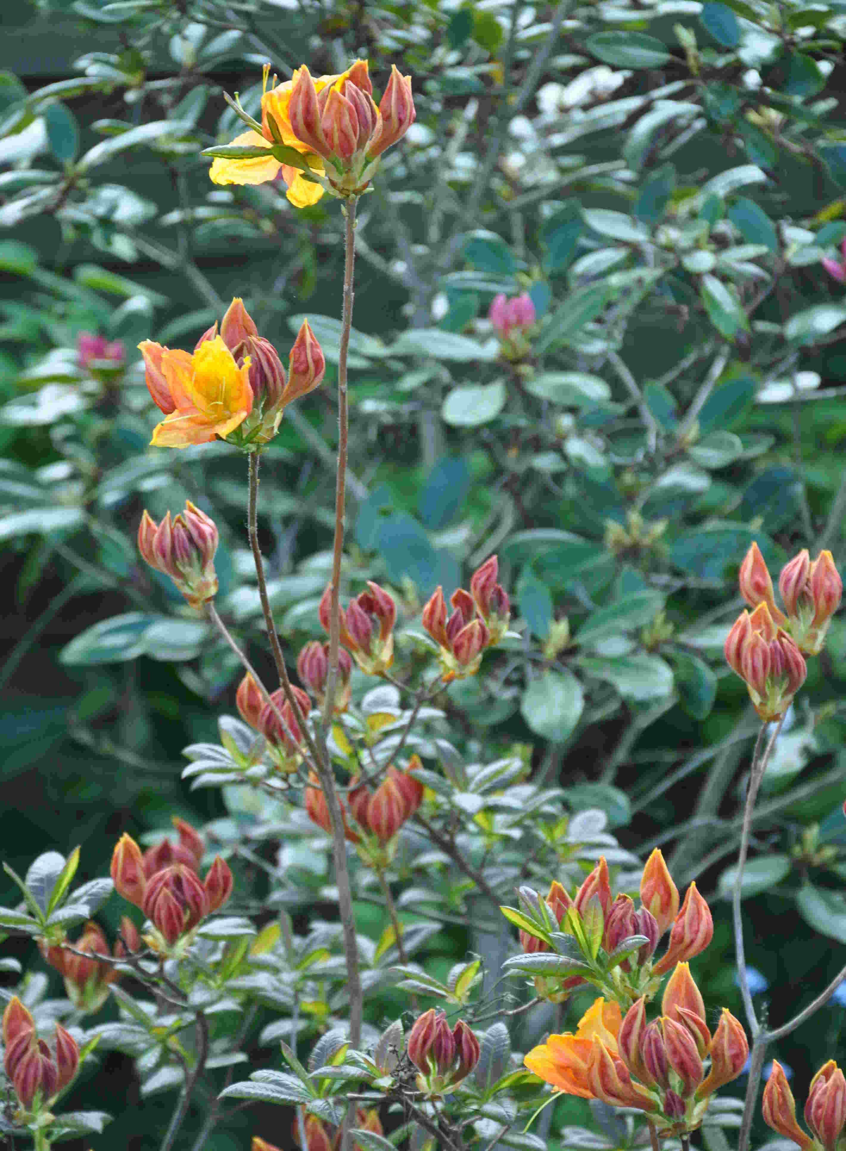 Knoppiga azaleor trivs gärna i lite soligare läge i trädgården.
