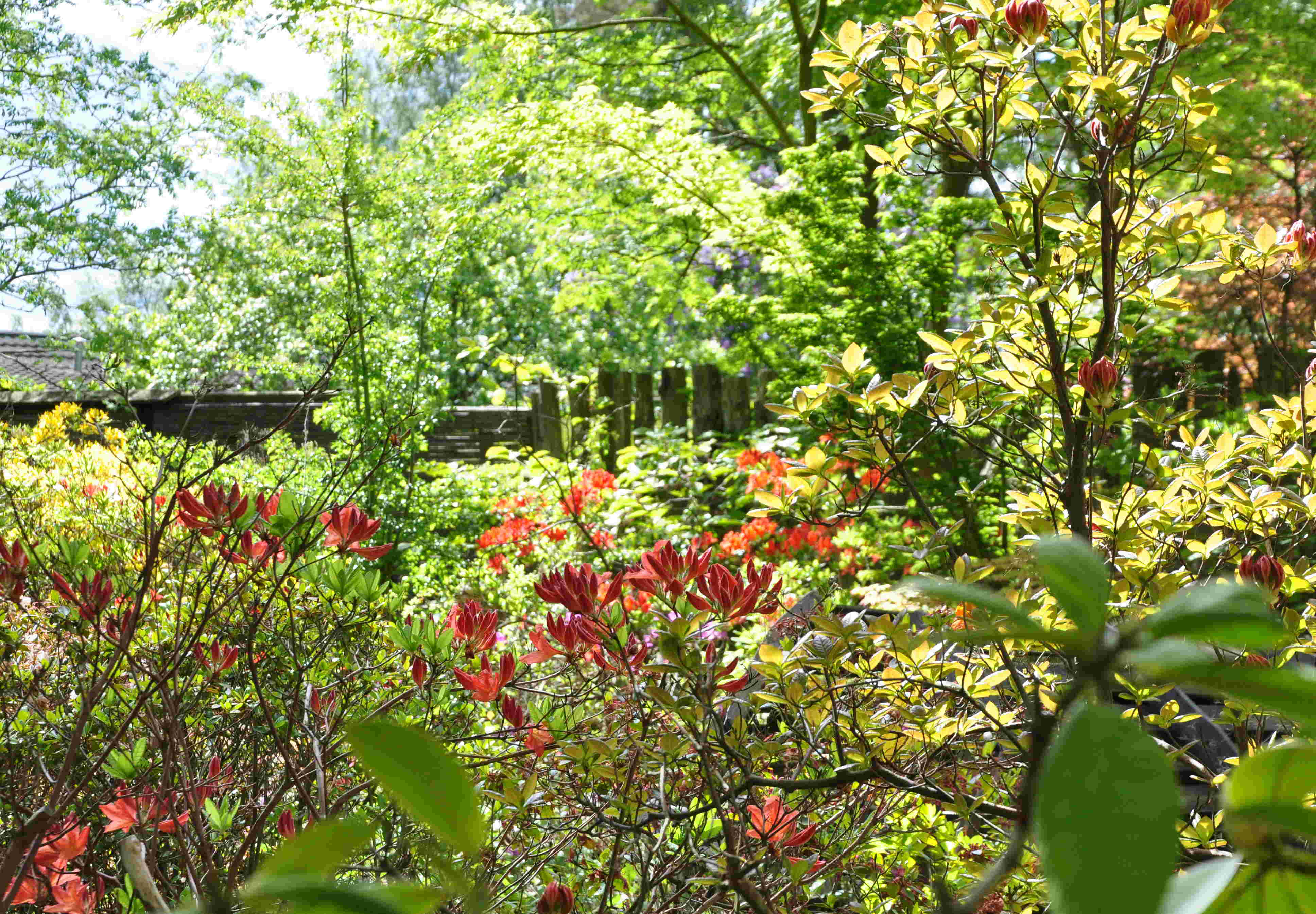 Halvskugga och fuktig jord är bra för rhododendron.