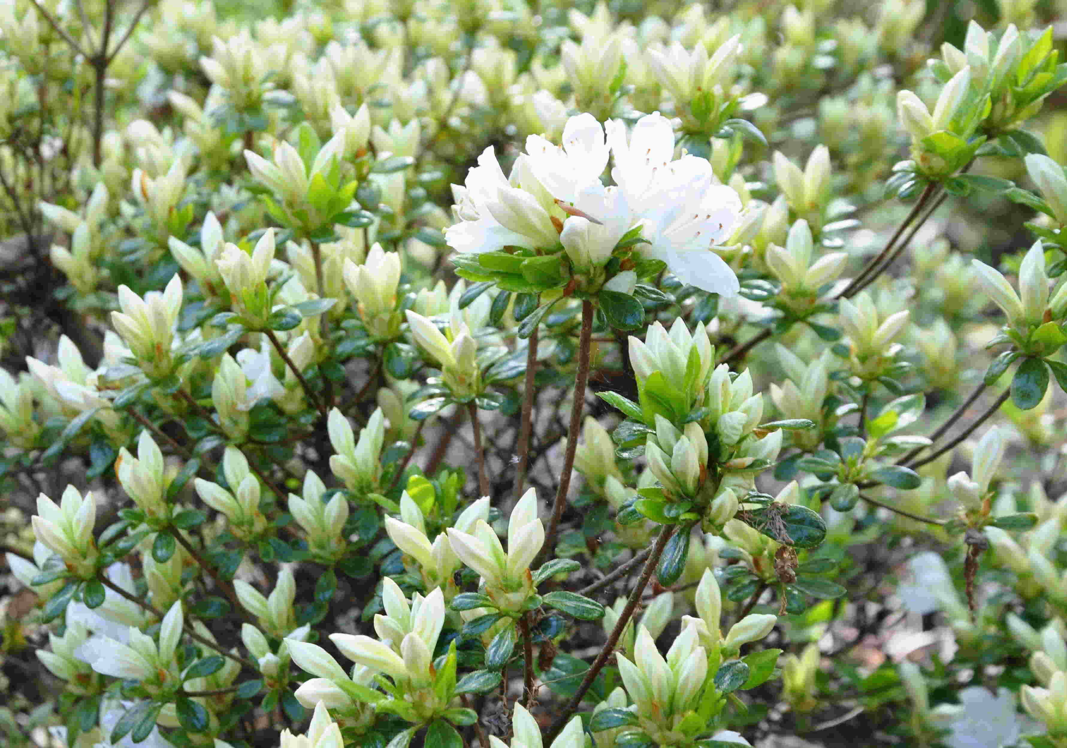 Azaleor och rhododendron trivs i en sur och porös jord med god fukt.
