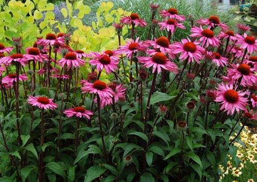 Echinacea purpurea – Greenspire Trädgårdskonsult 3f48178e5deb6