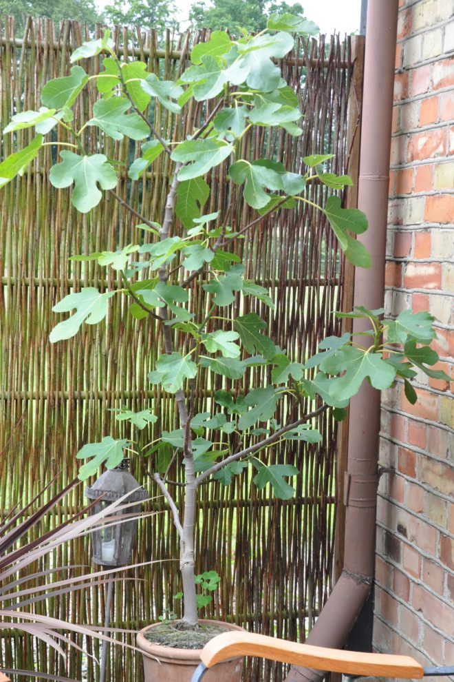 plantera fikonträd inomhus