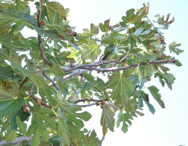 fikonträd inomhus lukt